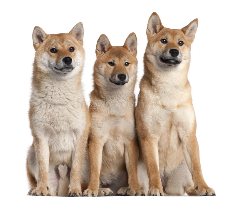Three Shiba Inu puppies, 6 months old