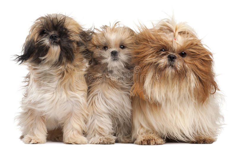 Three Shih-tzus with windblown hair royalty free stock image