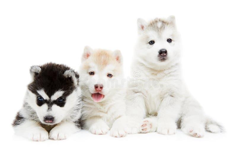 Three Siberian husky puppy dog stock image