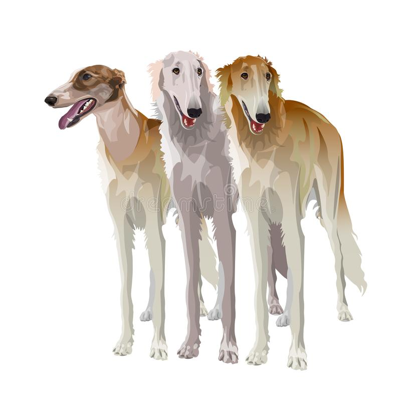 Three sighthound dogs. In full growth. Borzoi or russian wolfhound. Vector illustration isolated on white background vector illustration