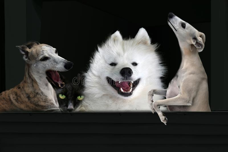 Three  singing dogs and one  hidden cat on black. Enthusiastically singing dogs  bringing  birthday congratulations or support with their  song the performance royalty free stock photography