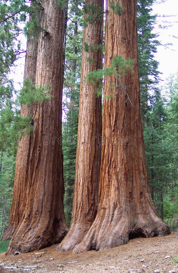 Three Sisters. Photo of the famous Three Sisters Redwood trees in Mariposa Grove Yosemite National Park in California royalty free stock image