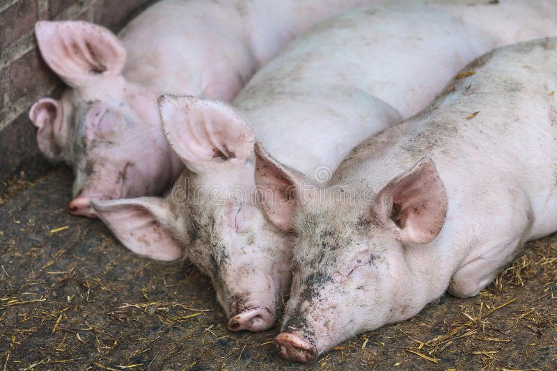 Three sleeping pigs in a row stock photos