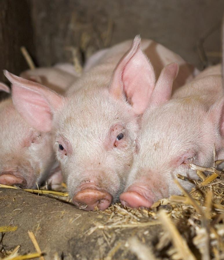 Three Sleepy Piglets royalty free stock photo