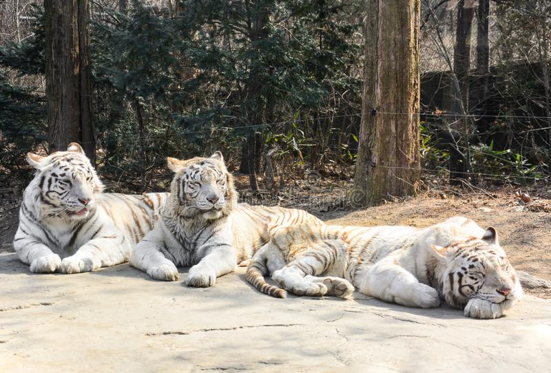 Three of sleepy white tigers with sunlight in the morning stock photography