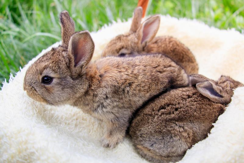 Three small and beautiful bunnies royalty free stock photos