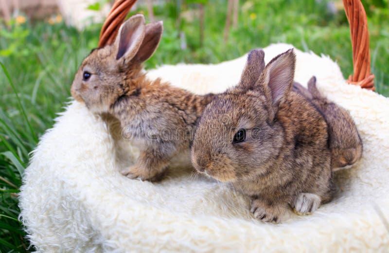 Three small and beautiful bunnies stock image