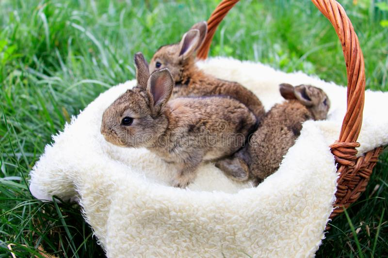 Three small and beautiful bunnies stock photography