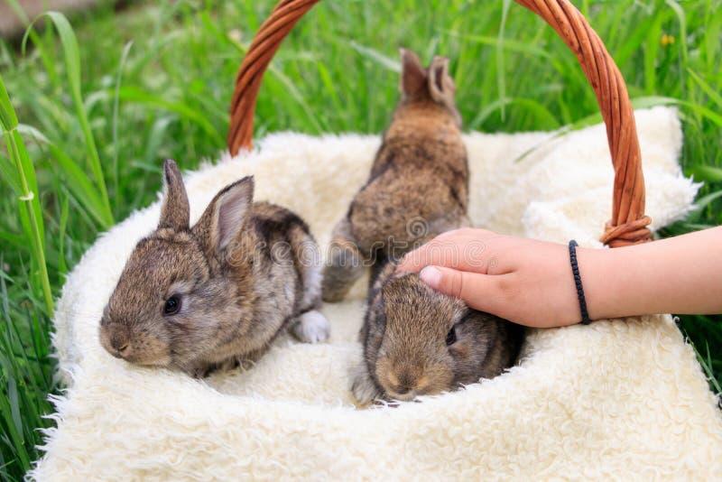 Three small and beautiful bunnies royalty free stock image