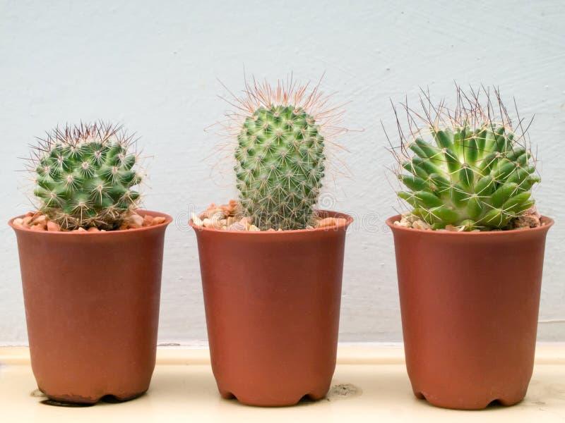 Download Three small cactus plant stock photo. Image of plastic - 24326240