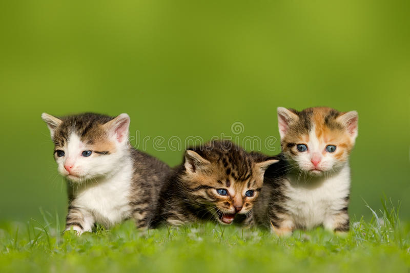 Three small cat / kitten sitting on meadow. Grass stock photo