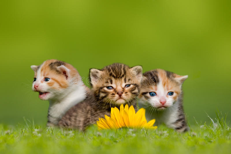 Three small cat / kitten sitting on meadow. Grass royalty free stock photo
