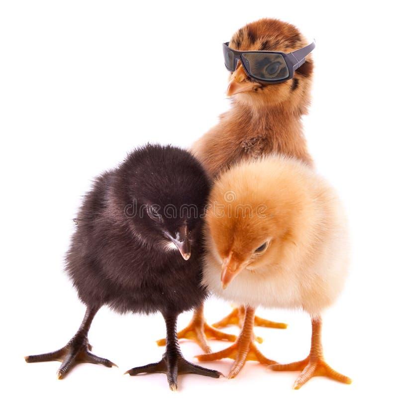 Three small chickens isolated royalty free stock photos