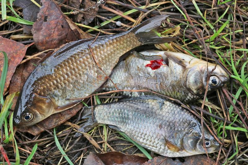 Three small crucian carp fish die on the grass near the lake royalty free stock images