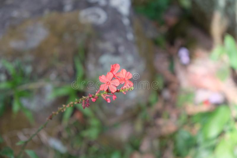 Three small delicate flowers on a twig. Fragile plant royalty free stock images