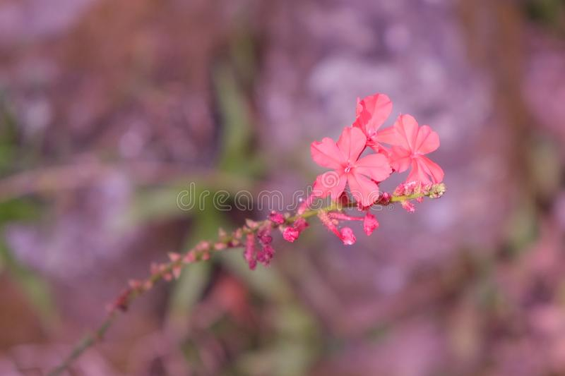 Three small delicate flowers on a twig. Fragile plant stock photo