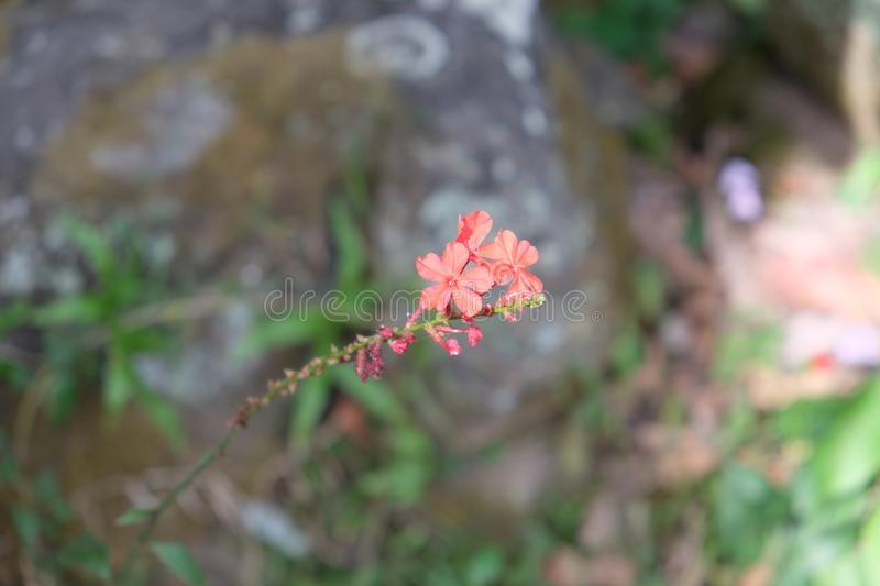 Three small delicate flowers on a twig. Fragile plant stock photos