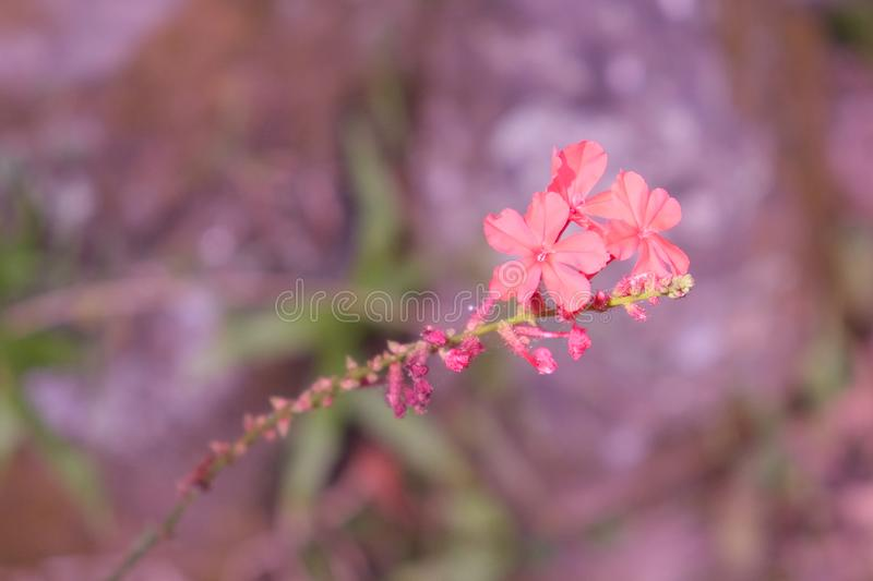 Three small delicate flowers on a twig. Fragile plant royalty free stock photography