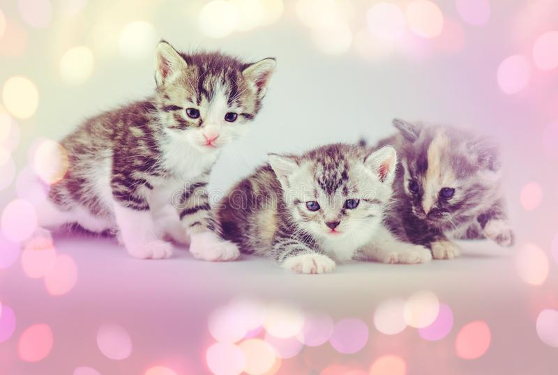 Three amazing kittens. Group of three little kittens on studio background. Three small kittens on a light background. Group of fluffy  kitten posing on a light royalty free stock photo