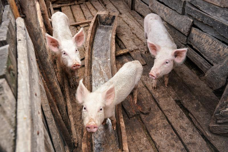 Three small pigs in small wooden stall, people are poor in Madagascar so even animals are rather thin without being fed royalty free stock image