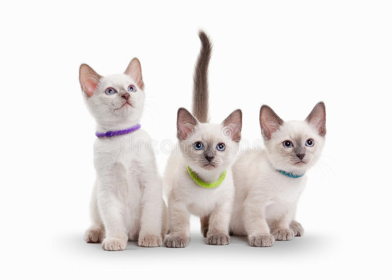 Three small thai kittens on white background. Three small thai kittens on white royalty free stock images