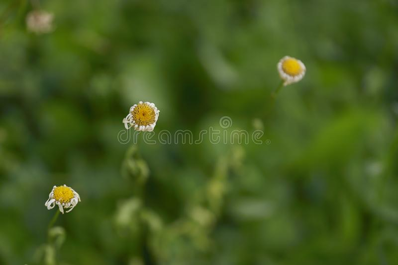 Three small yellow flowers arranged in a diagonal shape form a beautiful picture. royalty free stock image