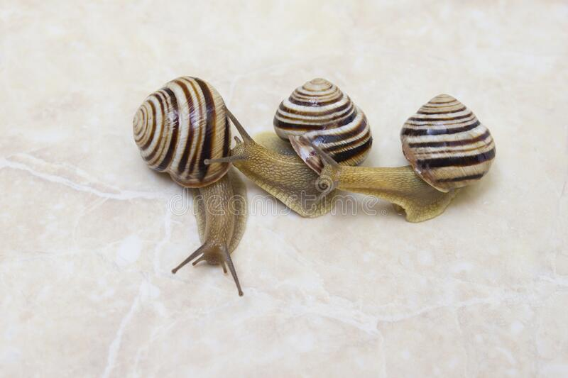Three snail close-up - studio shot, biology, wild life, male, food royalty free stock photos