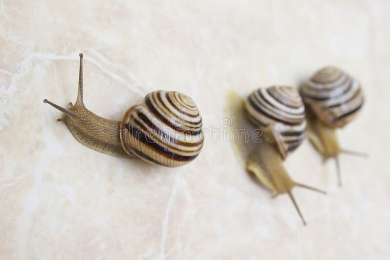 Three snail close-up - studio shot, biology, wild life, male, food stock photos