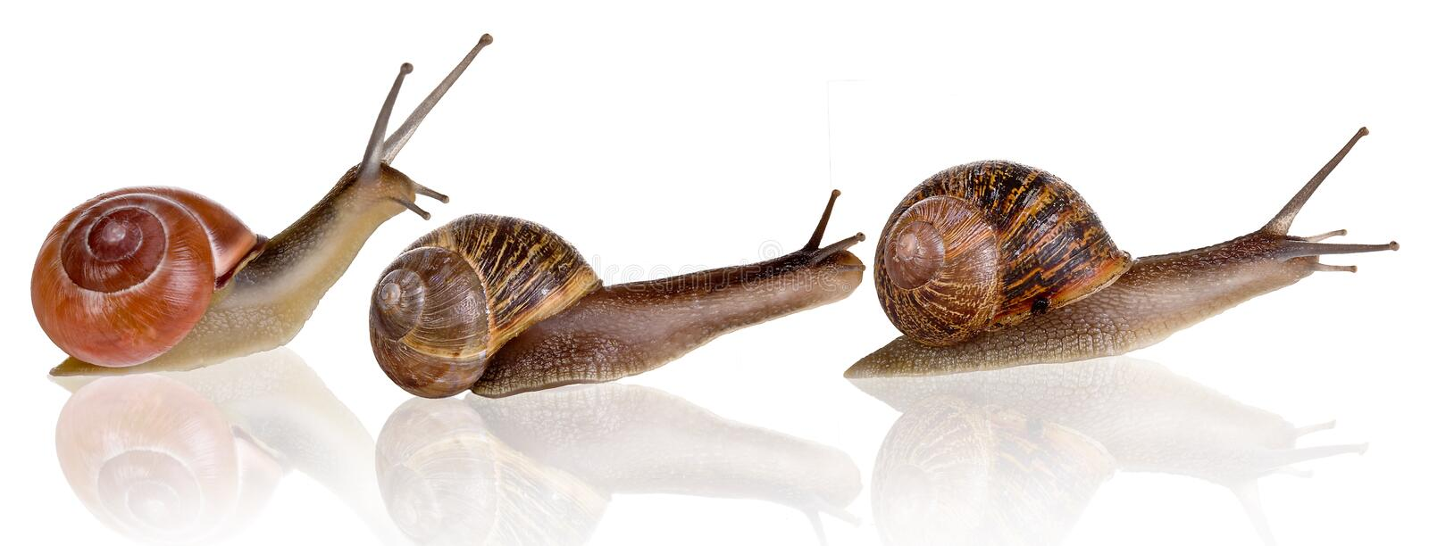 Download Three snails stock image. Image of slugs, isolated, grapevine - 10552951