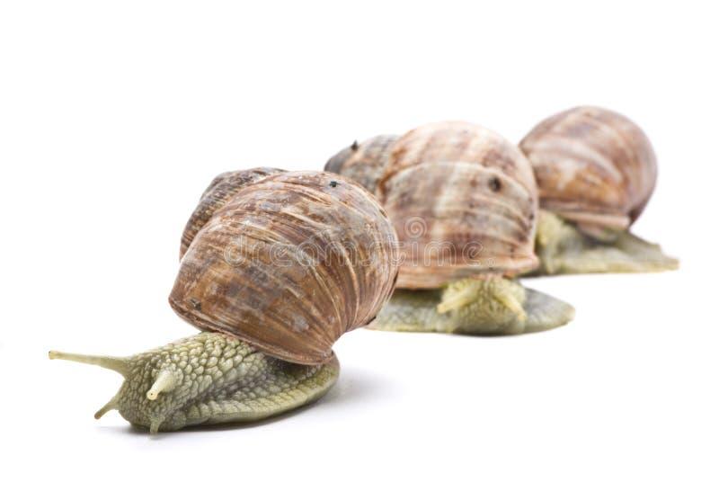 Three snails. Three garden snails on white background stock photos