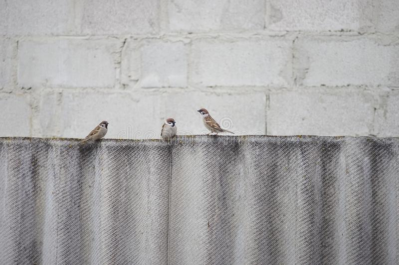 Three sparrow birds sitting on the fence. royalty free stock image