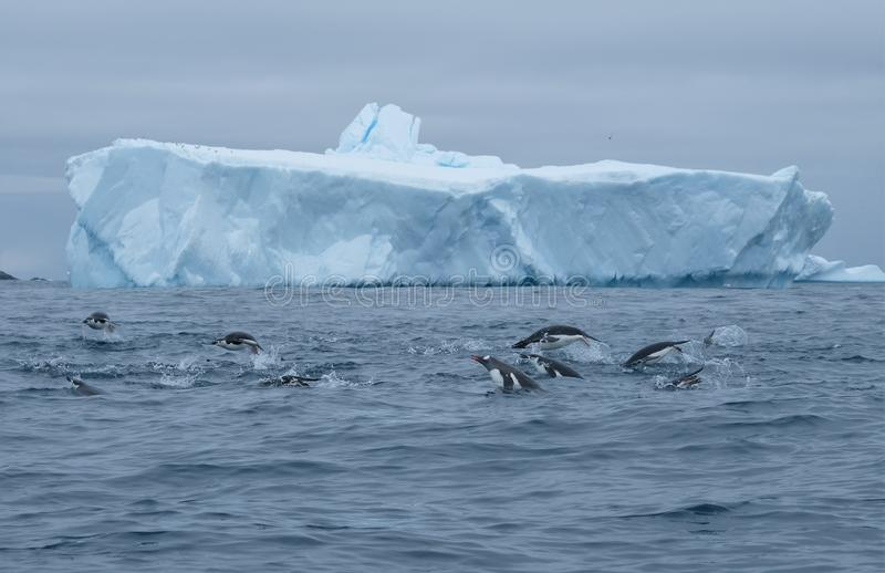 Antarctica gentoo, chinstrap, adelie penguins porpoising and group hunting. Three species of penguin, Adelie, Gentoo and Chinstrap use teamwork to hunt in stock image