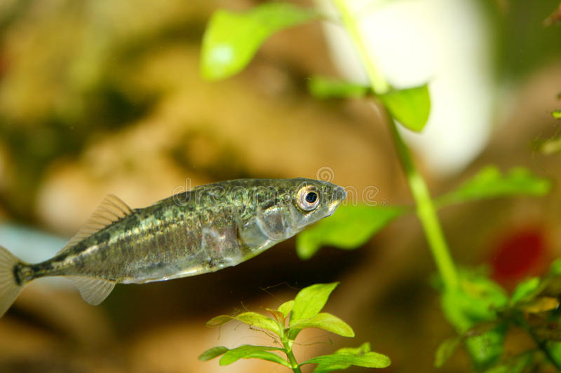 Three-spined stickleback (Gasterosteus aculeatus) royalty free stock photos