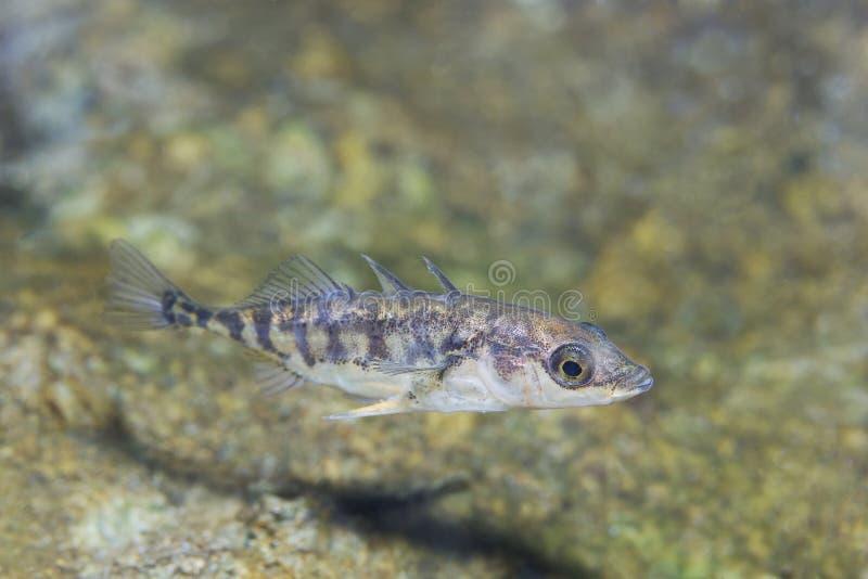 Three-spined stickleback Gasterosteus aculeatus underwater. Freshwater fish Three spined stickleback Gasterosteus aculeatus in the beautiful clean pound stock photography