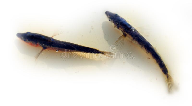 Three-spined stickleback (tidder, Gasterosteus aculeatus), winter royalty free stock image