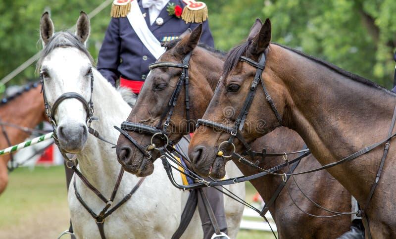 Three sports horses royalty free stock image