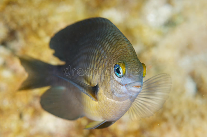 Three Spot Damselfish-Stegastes planifrons. Picture taken in south east Florda royalty free stock photography