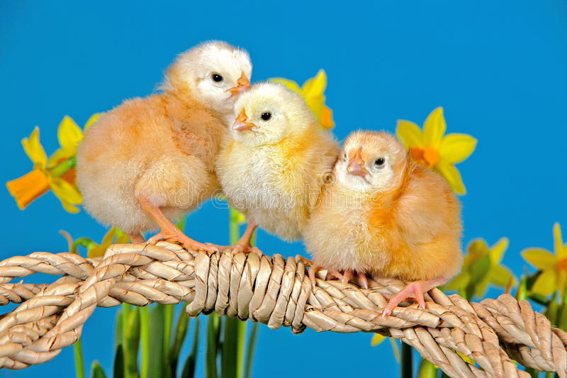 Three Spring Chicks royalty free stock image