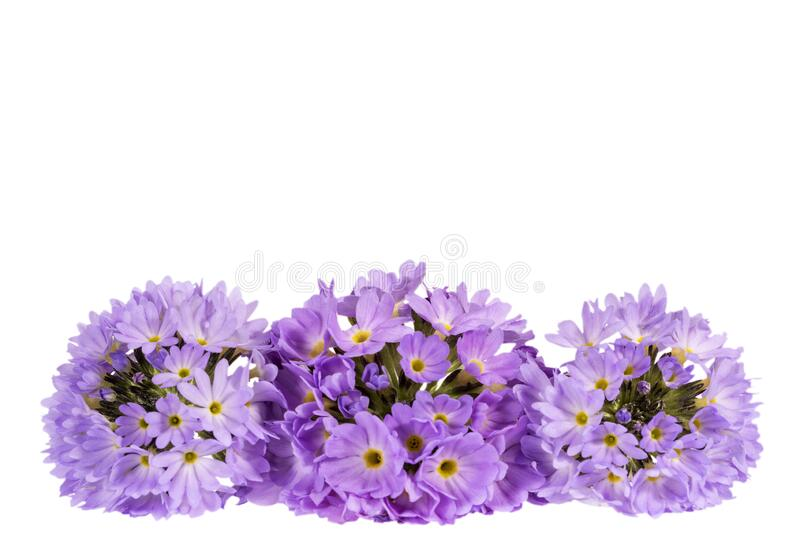 Three spring flowers of lilac primula isolated on white background, space for text stock images