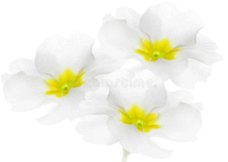 Three spring flowers. Primrose or primula on white background.  royalty free stock photo