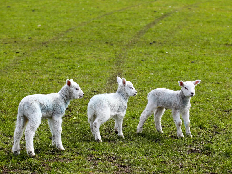 Three spring lambs royalty free stock photography