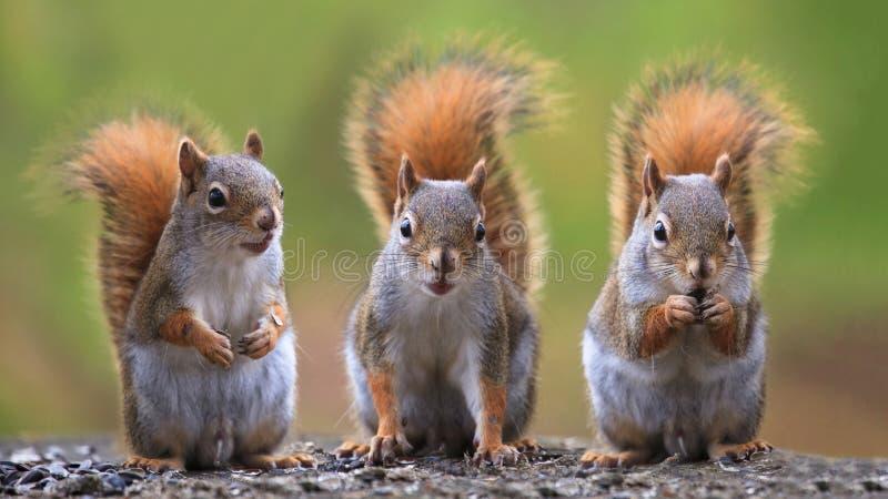 Three squirrels. Close up shot of three squirrels
