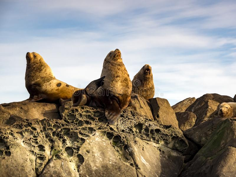 Three Steller Sea Lions Eumetopias jubatus. A group of huge male Steller Sea Lions photographed in Southern British Columbia stock photography