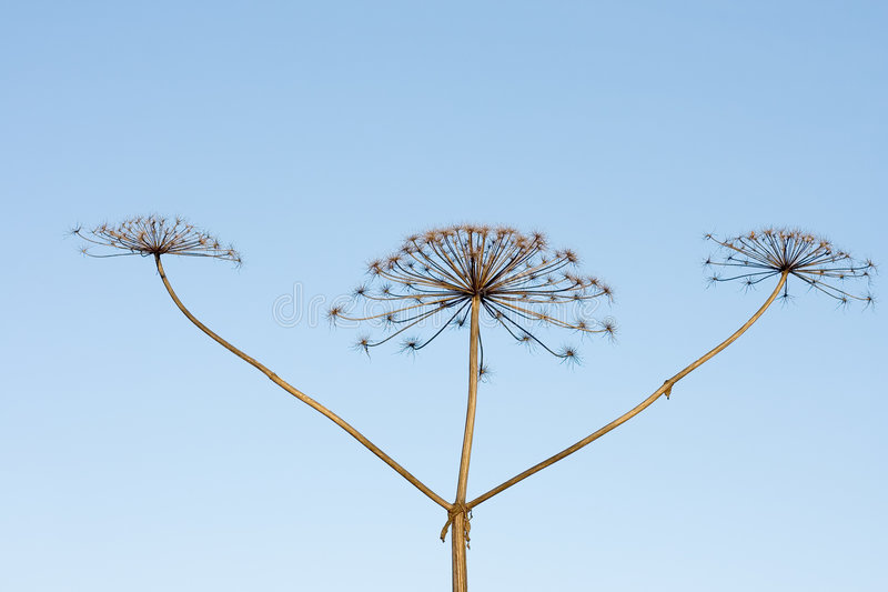 Three sticks of dry hogweed with crowns on backgro royalty free stock image