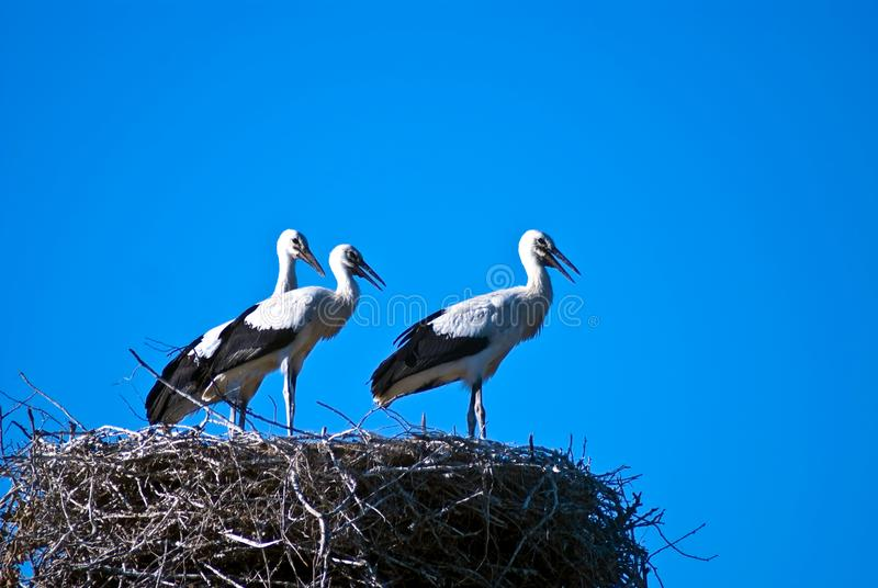 Three storks stock images