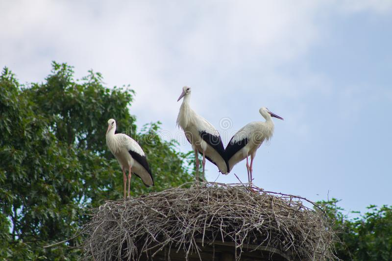 Three storks in a nest stock photo