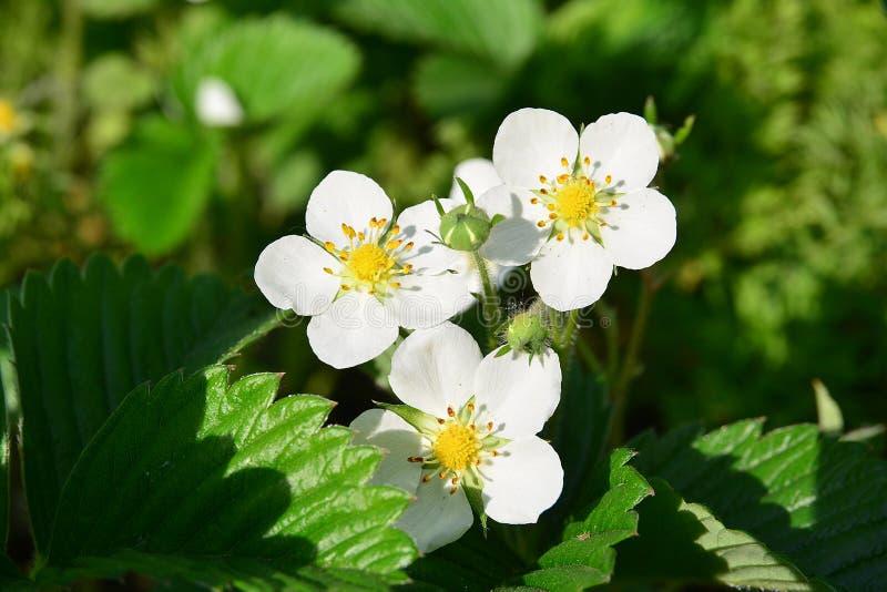 Three strawberry flower on sunlight royalty free stock photography
