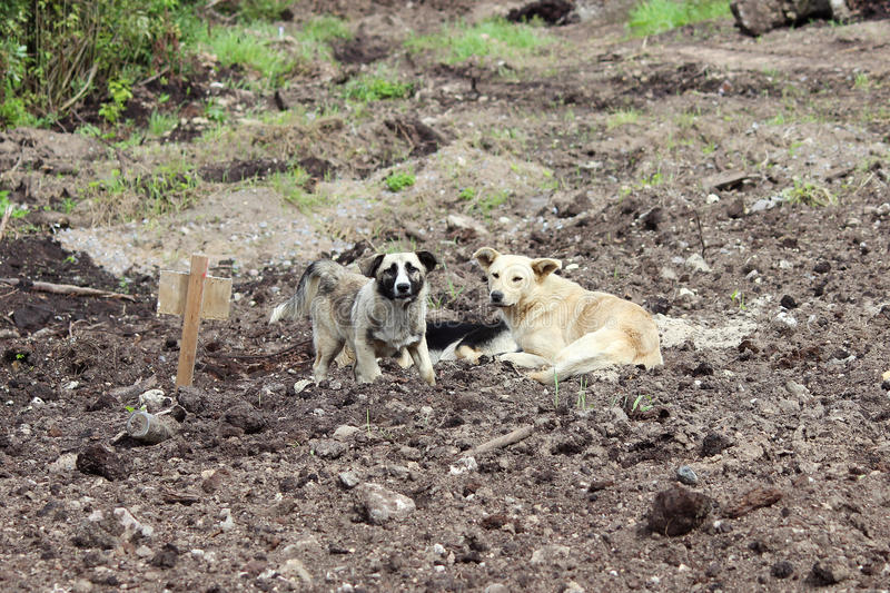Three stray dogs dug on the black ground in the area of road repair. royalty free stock images