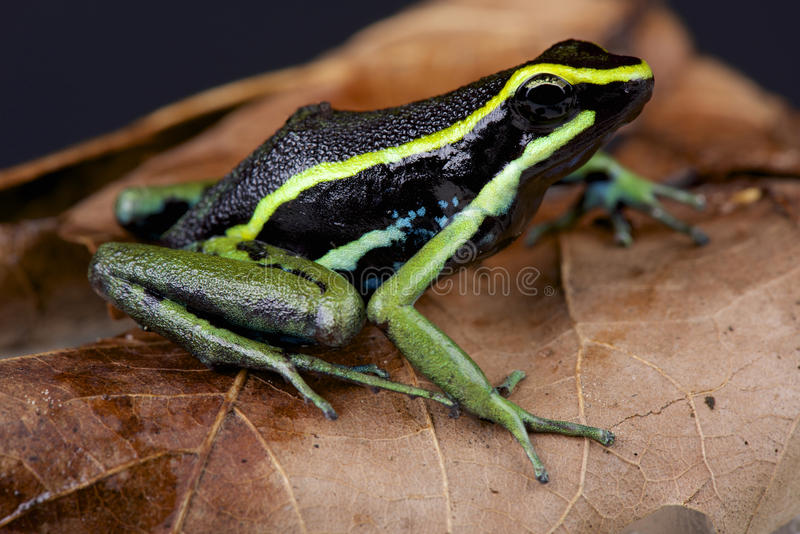 Three-striped dart frog / Ameerega trivittata stock image