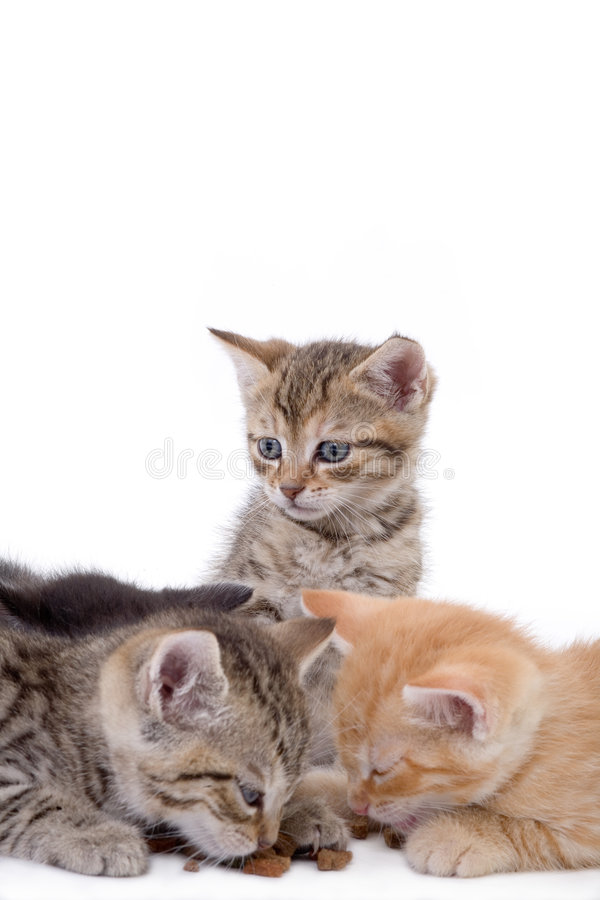 Three striped kittens, two eat stock photo